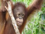 climbing-orangutan-baby-photo